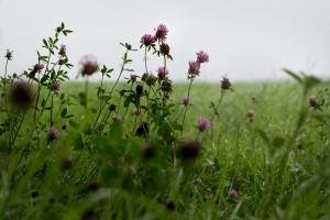 Полевые цветы кашки