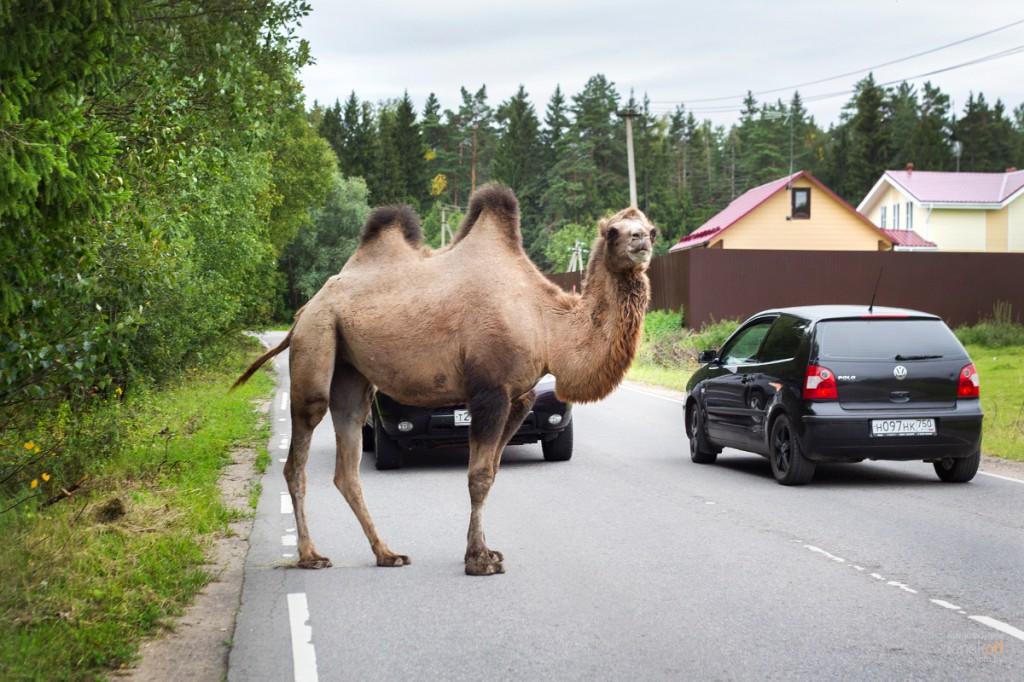 Верблюд в Подмосковье