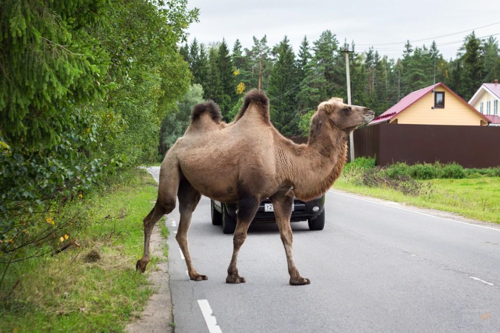 Верблюд переходит дорогу