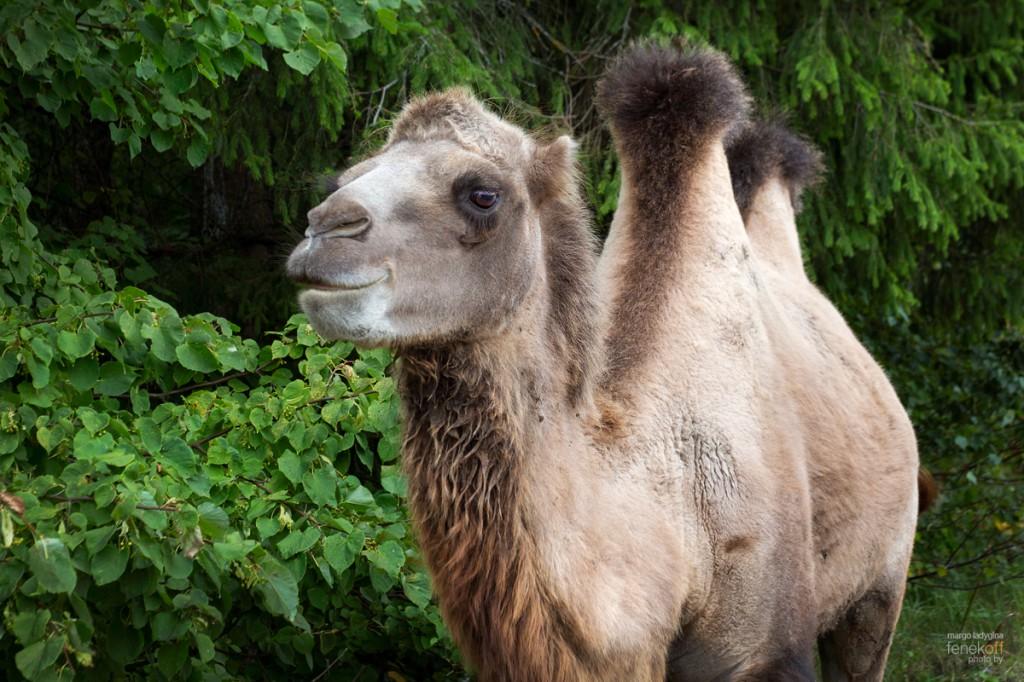 Улыбка верблюда