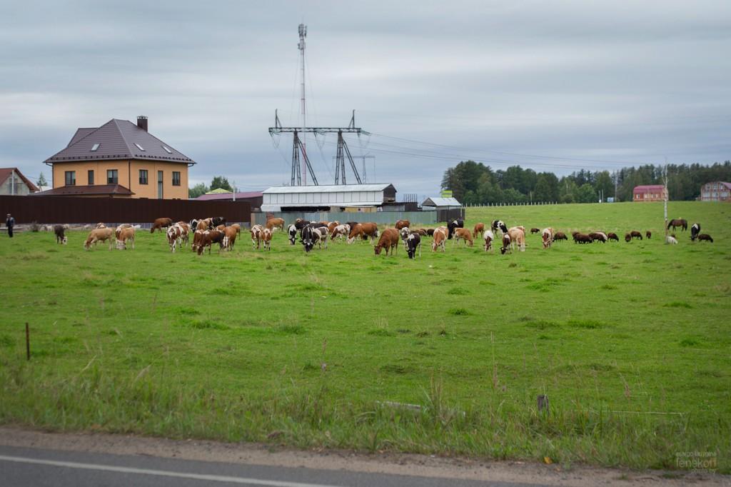Коровы пасутся