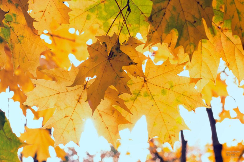 Желтые листья клена